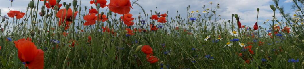 Pole ,pole w kwiatach ,pole usłane makami chabrami i rumiankiem ,panorama pola