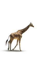 Running Giraffe photo on a white background