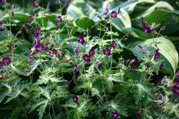 Geranium and host./In a flower bed an interesting combination of the blossoming geranium to motley leaves and hosts.