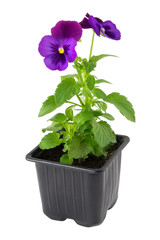 Fototapeten Stiefmutterchen Pansies viola tricolor flower in plastic pot, isolated.