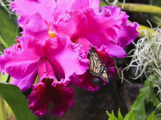 Monarch butterfly on purple orchids