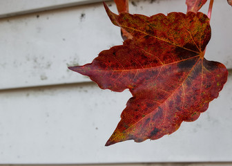 Red Leaf on Old White Siding of House in Autumn