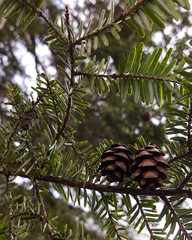 Hemlock Tree with Pine Cones