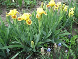 Colorful irises in the garden, perennial garden. Gardening. Bearded iris Group of yellow irises in the Ukrainian Garden.