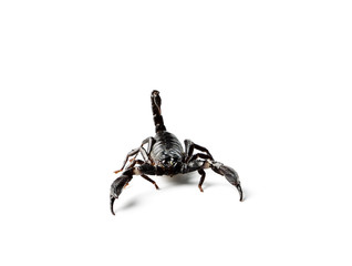 Scorpion isolated on white.