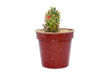 Cactus in a pot.