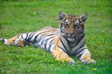 Photo sur Toile Tigre tigre siberiano
