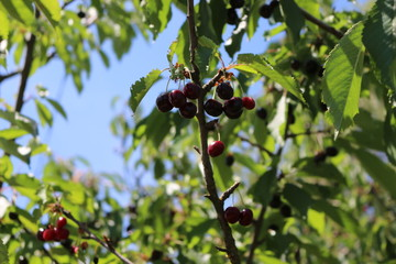 Cherry berries ripen on a tree