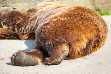 a big brown bear lies and basks in the sun