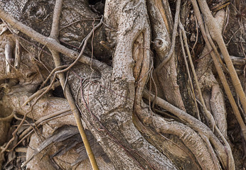 twisted roots of an old tree trunk weathered fantastic background texture base