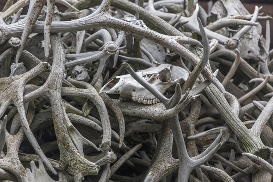 large pile of elk antlers with skull in Wyoming