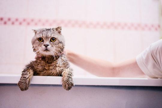 Washing of cute kitty cat in bathroom.