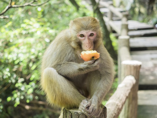 A monkey eating an apple sitting on the walkway at Yuanjiajie Mountain, Wulingyuan Scenic Area, Zhangjiajie National Forest Park, Hunan Province, China, Asia