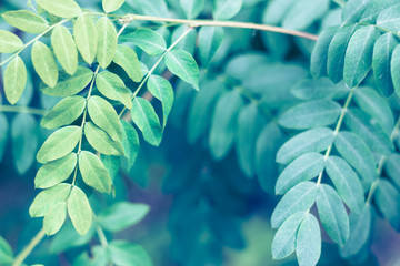 Tender close up of summer false indigo oval leaves. Green sunny fresh tree or bush grass closeup for background
