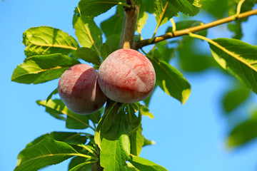 Closeup of branch with ripe plums in garden on sunny day