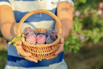 Woman holding small basket with plums in garden