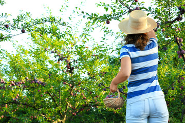 Woman harvesting plums in garden on sunny day