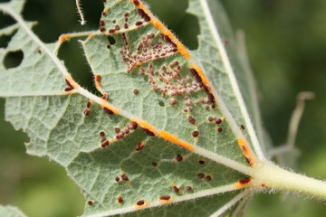 Pathogenic fungus Puccinia malvacearum or hollyhock rust on leaf of Alcea rosea