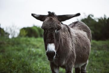Detail of Lovely Donkey in Field