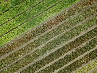 Diagonal rows of lettuce growing