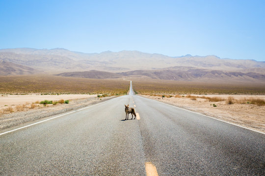 Coyote standing in the middle of a desert highway