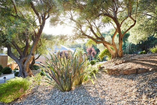 Xeriscape Landscaping with olive trees