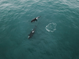Two killer whales swim in the blue open ocean together