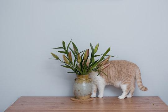 British Short hair Cat Hiding Behind Lily Flowers