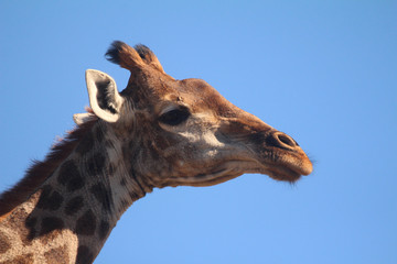 Giraffe in the African wild