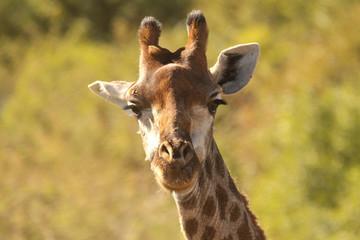 Giraffe in the African wild
