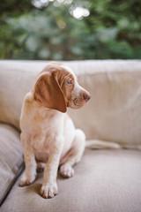 Portrait of a cute vizsla puppy