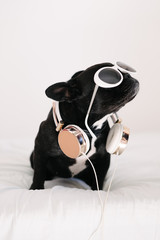 Adorable french bulldog with headphones and sunglasses