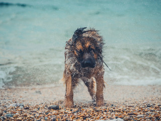 Big dog shaking to dry itself at the beach