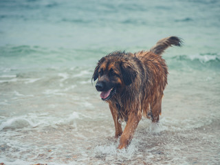 Big leonberger dog at the beach
