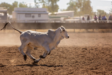 Calf Runs During Campdraft Event At A Country Rodeo