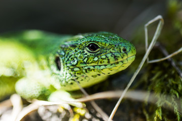 Male Lacerta Agilis Sand Lizard Reptile Animal Macro Portrait Close-up