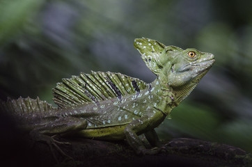 Male emerald basilisk lizard portrait