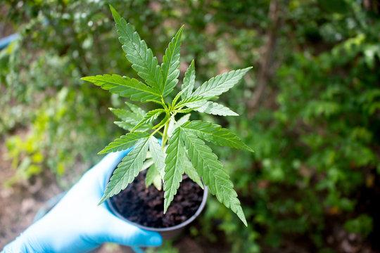 marijuana in pot and hand blue glove scientist post havest