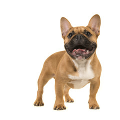 Papiers peints Bouledogue français Cute french bulldog standing looking up with open mouth on a white background