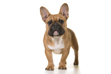 Foto op Canvas Franse bulldog Adult french bulldog standing looking at camera on a white background