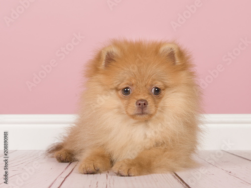 Cute mini spitz puppy dog lying down looking at the camera on a pink ...