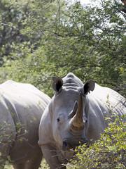 Southern White rhinoceros, Ceratotherium simum simum, mud cover, Botswana