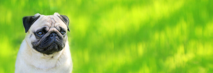 Pug dog on a background of green grass