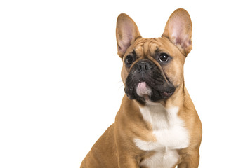Tuinposter Franse bulldog Portrait of a french bulldog isolated on a white background