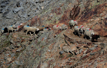 "Sheep make their way past a rocky path up to the alpine pass ""Hochjoch"" in the autonomous region of South Tyrol"