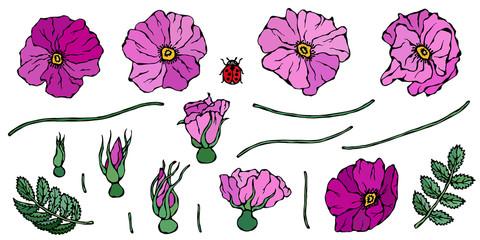 Wild Rose Pink Flower. Dog Rose, Briar Leaf. Botanical Painting. Realistic Hand Drawn Illustration. Savoyar Doodle Style.