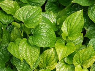 Material. Thai medicinal plants.(Piper sarmentosum Roxb.)