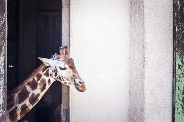 Girafon, bébé girafe