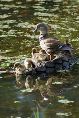Mandarin duck with ducklings