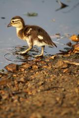 Mandarin ducks on a pond